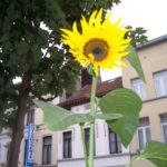 08_08_25_Tournesol_100_7332.jpg