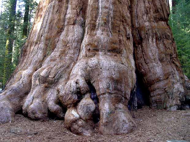 sequoia Général Sherman