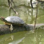 Nous, tortues bruxelloises