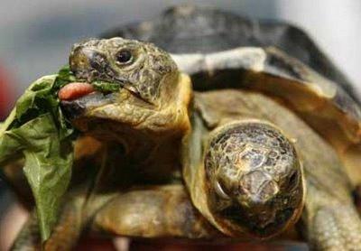 janus tortue à 2 têtes