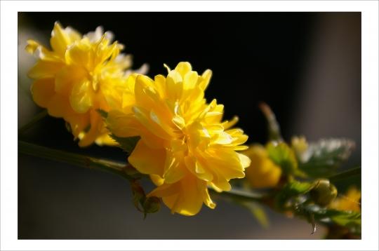 Le keria en fleurs (photo Brunoy)